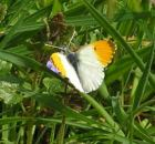 Orange Tip 2005 - Andrew Wood