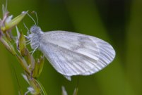 Wood White 2009 - Bob Clift