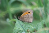 Meadow Brown 2005 - Sandra Standbridge