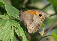 Meadow Brown 2006 - Sandra Standbridge