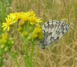 Marbled White 2004 - Archie Lang