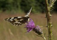 Marbled White 2004 - Lee Browne