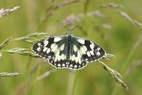 Marbled White 2004 - Nick Sampford