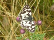 Marbled White 2006 - Geoff Horn