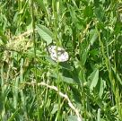 Marbled White 2006 - Vall Fullforth