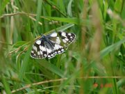 Marbled White 2007 - Paula Greenaway