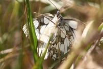 Marbled White 2010 - Alan Gardiner