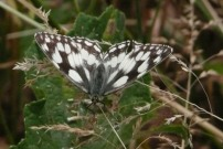 Marbled White 2010 - Brian Knight