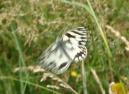 Marbled White 2010 - Paul Underwood
