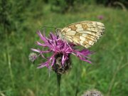 Marbled White 2007 - Gavin Vicary