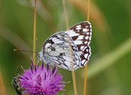 Marbled White 2008 - Jonathan Forgham