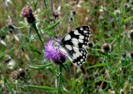 Marbled White 2010 - Dave Miller