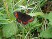 Scotch Argus 2001 - Nick Sampford