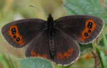 Scotch Argus 2006 - Ian Hardy