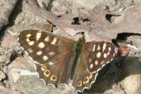 Speckled Wood 2010 - Brian Knight