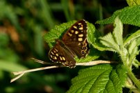 Speckled Wood 2007 - Simon Rasch